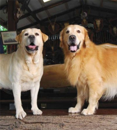 Labrador vs Golden Retriever